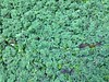 2016-01-23 at 15-28-54 (Mollivan Jon) Tags: newzealand christchurch ecology places canterbury southisland species aquaticplant waterfern heathcoteriver mollivan wigram lemnaminor taxonomy:kingdom=plantae taxonomy:genus=azolla taxonomy:family=lemnaceae taxonomy:genus=lemna taxonomy:binomial=lemnaminor taxonomy:family=salviniaceae miscellaneouskeywords azollarubra observationaddedtonaturewatchnz photowithassociateddata plantlifestyle naturewatchnz heathcoteriverwalkwayaroundthewigramretentionbasin taxonomy:common=waterfern iphone4sbackcamera428mmf24 taxonomy:binomial=azollarubra