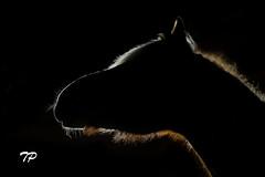 Wanya (Theresa Pagitz) Tags: light bw horse black silhouette night dark caballo licht blackwhite nacht cavallo pferd schwarz equine gegenlicht haflinger umris euestrian noriker pferdeportrait
