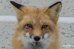 Upclose Fox (SensoriumStudios) Tags: life wild sexy love nature animals island fire foxy nice close wildlife it fox foxxy