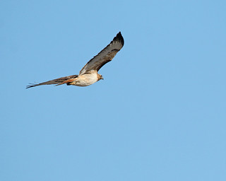Red Tailed Hawk 6755