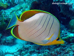 Yellowhead butterflyfish - Pez mariposa de cabeza amarilla (divingthecloud) Tags: sea fish pez mar agua diving maldives buceo maldivas fotosub bajoelagua yellowheadbutterflyfish pezmariposacabezaamarilla