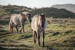 Hello there! (Monika Kalczuga (v.busy)) Tags: holland nature netherlands field grass animal animals landscape outdoor dunes grassland duinen wildhorses noordholland wildanimals konik konikpaarden dutchdunes husiduinen