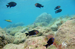 Fulas negras (tomasero) Tags: snorkel peces canarias fondo negra buceo palmas canteras carcasa abudefduf fula submarinas luridus