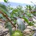 starr-040323-0201-Eclipta_prostrata-habit-Kanaha_Beach-Maui