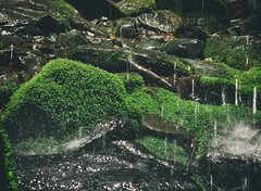 Some moss at Great Smoky Mountains National Park, TN, USA (The Shared Experience) Tags: wild usa green nature landscape outdoors spring tn lanscape d800 2014 greatsmokymountainsnationalpark gsmnp niksoftware