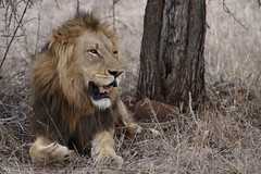 S100 King (Going Nowhere Slowly) Tags: male southafrica king wildlife lion safari krugernationalpark satara s100 canon100400mm canon7d
