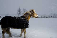 Carter (Nix Alba) Tags: horses horse nature weather outdoor equine austrian haflinger equines