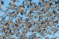 Snow Geese Swarm (m e a n d e r i n g s) Tags: california winter snow geese socal imperial migration saltonsea sonnybonosswnr