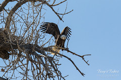 Bald Eagles copulating sequence - 28 of 28