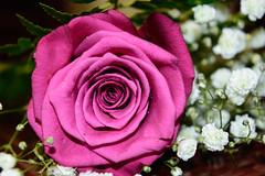 Fuchsia Flower (a.el) Tags: flower love nature beautiful nice colorful soft blossom fuchsia fuschia gift dew romantic bouquet lovely emotional riyadh saudiarabia ksa