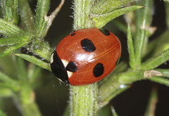 Scarce 7 Spot Ladybird (Prank F) Tags: macro nature closeup insect wildlife beetle ladybird ladybug harlestone scarce wildlifetrust 7spot harlestoneheath northantsuk