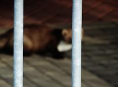 Een marter in de parkeergarage ! (Pablo Hoving 66) Tags: steenmarter