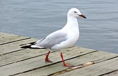Silvergull (Merrillie) Tags: seagulls nature birds animals fauna nikon wildlife gulls australia wharf coolpix woywoy silvergull p600 nswcentralcoastnsw centralcoastnsw