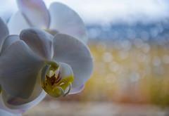 Orchid (Maria Eklind) Tags: white orchid flower se sweden bokeh indoor blomma sverige malm orkid skneln