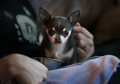 the little things that count (desertdragon) Tags: dog adorable danny gladys zeiss85mm
