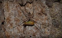 Tamopsis and tea (dustaway) Tags: nature australia bark nsw trunk capture arthropoda predation spiderwithprey predatorandprey australianspiders northernrivers spidereating hersiliidae tullera tamopsis tullerapark