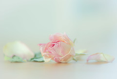 Paper Roses? - Explore 31/01/16 (paulapics2) Tags: pink flower nature floral beautiful beauty rose petals flora soft pretty romantic softfocus aged dried elegant delicate tranquil gentle dainty driedflower