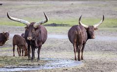 Watusi cattle (Hans van der Boom) Tags: netherlands animal nederland nl safaripark beeksebergen noordbrabant watusi hilvarenbeek hilarenbeek