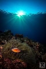 Pink (pusur64) Tags: ocean underwater taiwan diving scubadiving greenisland fishes marinelife underwaterphotography uwphotography taitungcounty lyudaotownship canoneos5dmarkiii damselfishespomacentridae bonyfishesosteichthyes pinkanemonefishamphiprionperideraion