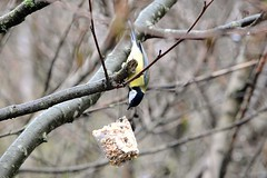 Nearly. (martynshutt71) Tags: wild bird nature fauna flora tit great cumbria workington