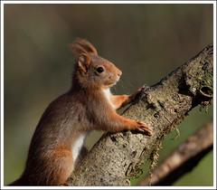 ombre et lumière (guiguid45) Tags: nature nikon squirrel animaux forêt écureuil sauvage loiret mammifères 500mmf4 d810