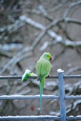 Ring-Necked Parakeet (male) (AnActionfigure) Tags: germany cologne parrot parakeet ringnecked roseringed psittacula krameri