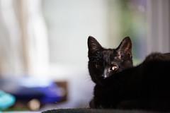 Bringer of Good Fortune (Pittypomm) Tags: flickrfriday goodfortune black cat lucky good luck kitten sunshine