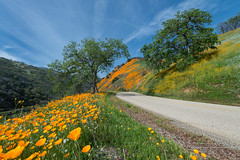 Poppy Heaven (Darvin Atkeson) Tags: california flowers orange white foothills mountains flower green bird forest oak hawk nevada sierra national drought poppy poppies falcon wildflowers prey wilderness soaring hillside soar darvin atkeson darv lynneal yosemitelandscapescom