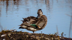 Green-winged Teal (backyardzoo) Tags: green teal teals greenwingedteal greenwinged