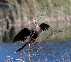 20160213-_74P6819.jpg (Lake Worth) Tags: bird nature birds animal animals canon wings florida wildlife feathers wetlands everglades waterbirds southflorida birdwatcher canonef500mmf4lisiiusm