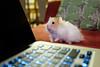 Tyler The Hamster (conradolson) Tags: hamster tyler pet animal vancouver britishcolumbia canada ca