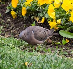 Eared Dove (Ralph Green) Tags: chile santiago bird southamerica birds tortola parqueforestal eareddove zenaidaauriculata