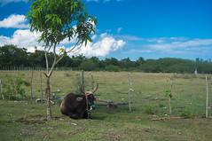 Descansando la faena (lezumbalaberenjena) Tags: clara food criollo restaurant comida cuba bull villa cuban villas buey cubana remedios finca 2016 criolla curujey
