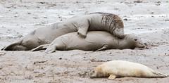 Love me tender...... (Jeff Derbys) Tags: seals donnanook lincolnshirewildlifetrust