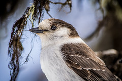 The Fantastic Gray Jay (C-Brese) Tags: bird closeup grey jay wildlife gray grayjay greyjay perisoreuscanadensis whiskeyjack canadajay cbrese
