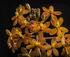 Cluster Of Oange And Yellow Flowers (Bill Gracey 17 Million Views) Tags: flowers orange flores color nature fleur colorful sandiego blossoms naturalbeauty softbox macrolens darkbackground crucifixorchid directionallight offcameraflash epidendrumibaguense lastoliteezbox yongnuorf603n yn560iii