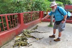 Feeding Iguanas, Arenal, Costa Rica IMG_0864 (Hart Walter) Tags: rainforest birdwatching fortuna socialflycatcher iguanas epiphytes euphonia tropicalforest arenalvolcano costaricanature swalowtailedkite paraisoresort misticohangingbridgespark