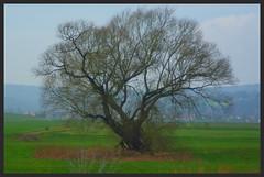 Lieblingsbaum (ute_hartmann) Tags: weser baum weserbergland