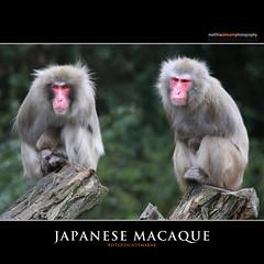 JAPANESE MACAQUE (Matthias Besant) Tags: animal animals japan mammal deutschland japanese monkey tiere monkeys mammals mammalia monkies tier affen singe affe macaque snowmonkey japanisches japanischer japanesemacaque japanische makak snowmonkeys macaca japanisch macacafuscata saeugetier saeugetiere makake japanmakak rotgesichtsmakak schneeaffe rotgesichtsmakaken macaquejaponais japanmakaken schneeaffen makaken meerkatzenverwandte backentaschenaffen trockennasenaffen altweltaffen pavianartige matthiasbesantphotography matthiasbesant