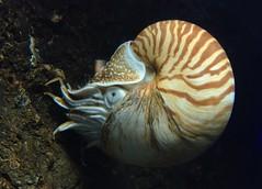hawaii-20160325T160952 (Bander) Tags: aquarium nautilus