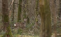 Gente dame (Eric Penet) Tags: famille wild france nature animal wildlife deer roe roedeer fort nord chevreuil mammifre sauvage faune cervid mormal chevrette locquignol