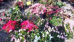 IMG_1341 (Jedi to be) Tags: flower primavera spring milano fiori prim