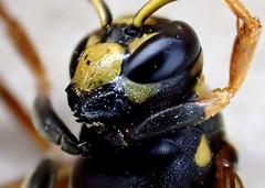 Yellow Jacket Wasp Head (bugldy99) Tags: macro animal insect wasp head arthropoda yellowjacket arthropod hymenoptera insecta