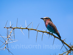 Lilac-breasted Roller (whitworth images) Tags: africa blue wild sky tree bird nature beautiful animal tanzania outdoors nationalpark branch purple native african wildlife feathers lilac roller perched thorns spines creature acacia avian tarangire eastafrica lilacbreastedroller coraciascaudata tarangirenationalpark