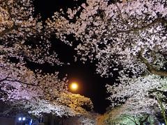 IMGP0078_1 (tetsu_m_320i) Tags: japan night sakura fullbloom