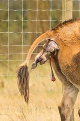 Eland Birth Series (Debshaynes) Tags: birth antelope eland knowsleysafaripark givingbirth newcalf