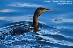 City Cormorant (Phalacrocorax carbo) (gcampbellphoto) Tags: urban bird nature wildlife belfast northernireland cormorant phalacrocoraxcarbo riverlagan gcampbellphoto