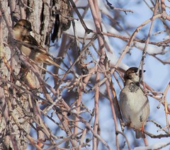 Hard To Swallow That You're a Sparrow (blindpariah) Tags: house canada tree male female march manitoba sparrow selkirk 2016