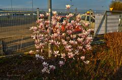 Flowers of spring (ChemiQ81) Tags: flower spring poland polska polish polen magnolia polonia kwiaty jaro pologne wiosna kwiat 2016  polsko  puola plland lenkija pollando wiosenny   poola poljska polija pholainn     chemiq polanya lengyelorszgban