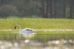 'My Very First Springtime' (Jonathan Casey) Tags: spring swan nikon cygnet ethereal f2 vr springtime 200mm vr1 d810